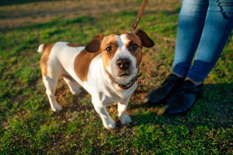 在一条皮带的狗杰克罗素狗在女主人的脚在绿草查寻 免版税库存照片