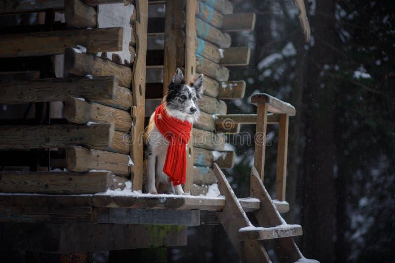 在一条红色围巾的狗在木房子 博德牧羊犬冬天 在步行的宠物 免版税库存图片