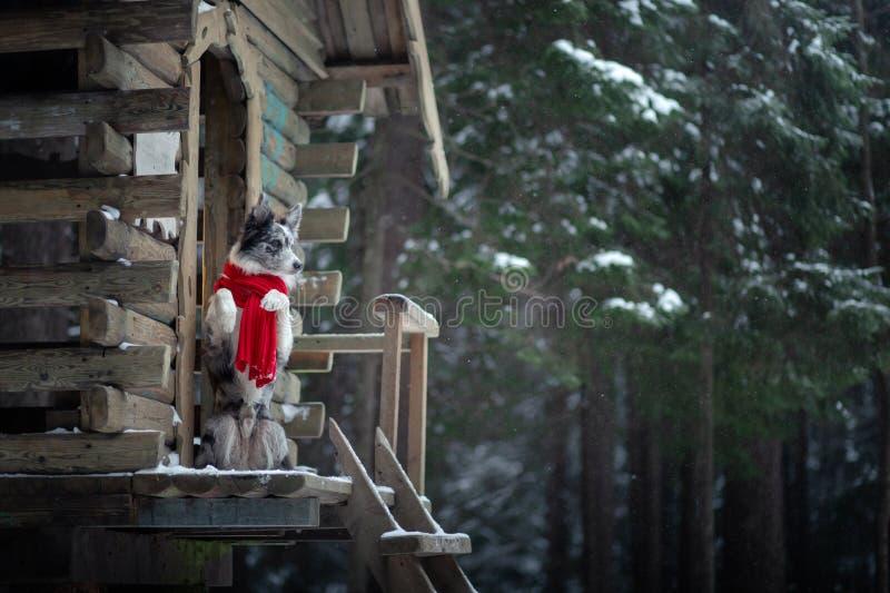 在一条红色围巾的狗在木房子 博德牧羊犬冬天 在步行的宠物 库存照片