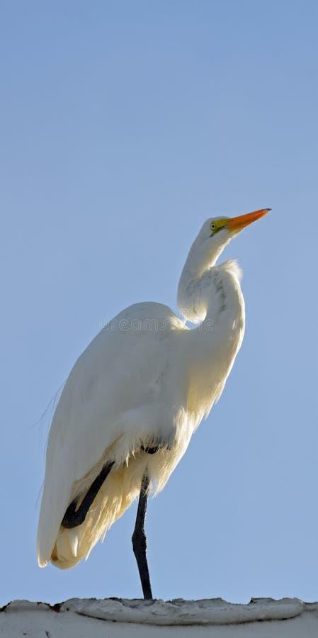 在一条腿今后被转动和平衡的伟大的白色白鹭,被日光照射了从后面反对浅兰的天空 复制的空间 库存照片