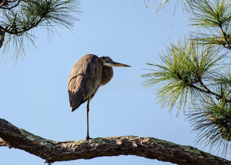 在一条腿的一个伟大蓝色的苍鹭的巢 免版税库存图片