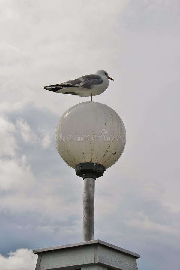 在一条腿的海鸥在街灯 卡尔斯塔德,瑞典 库存照片