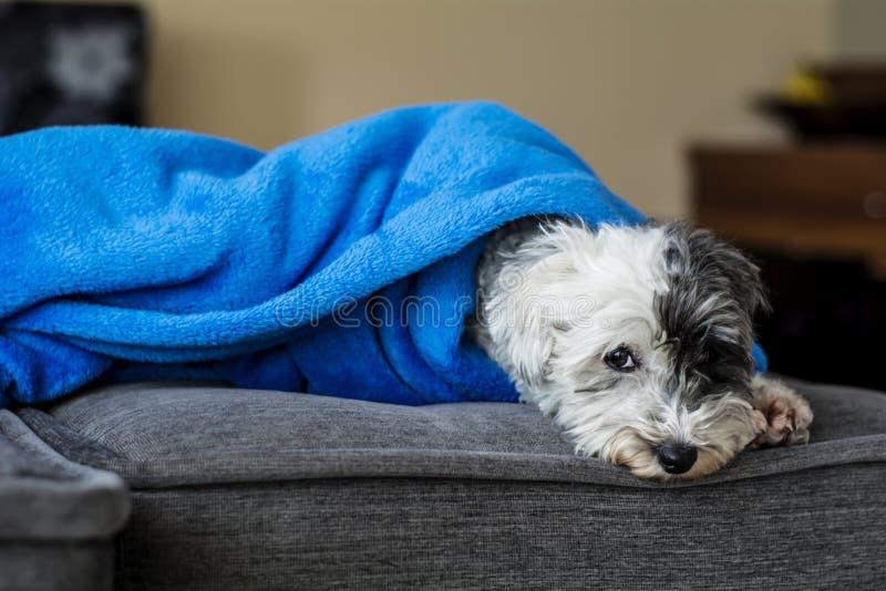 在一条蓝色毯子所有包裹的可爱的白色狗 图库摄影
