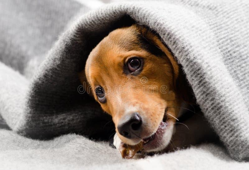 在一条软的毯子的逗人喜爱的小猎犬小狗 免版税图库摄影