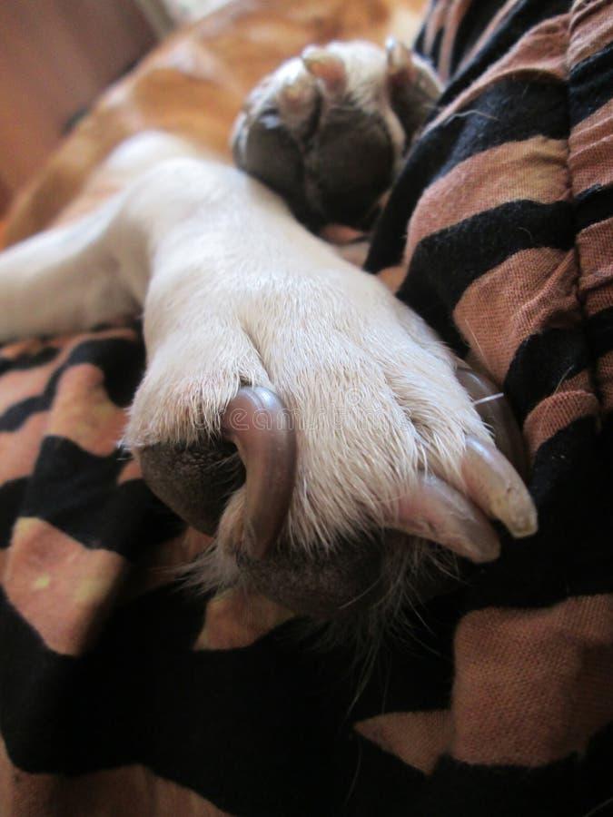 在一条镶边毯子的狗爪子 免版税库存照片