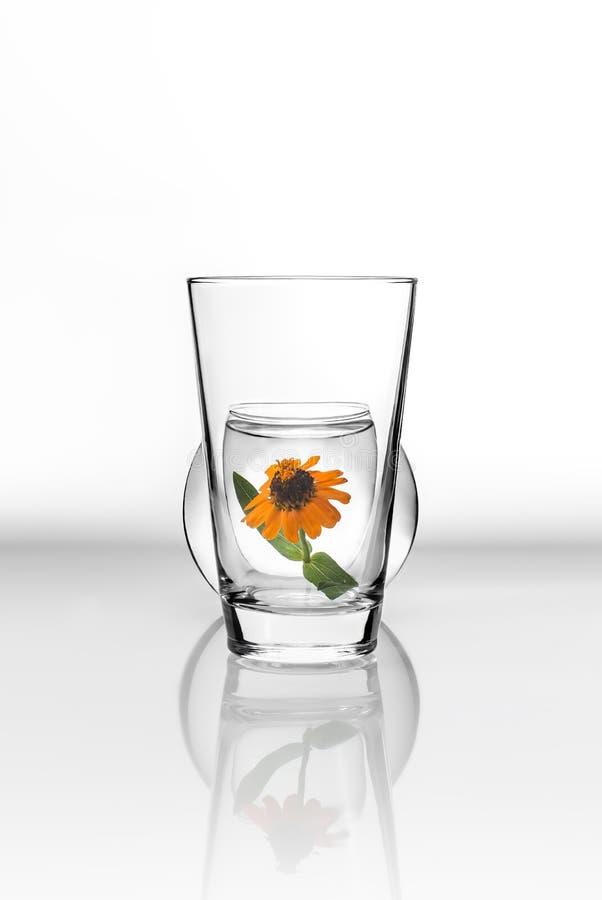 在一杯的橙色花在白色背景的水里面与表面上的反射 图库摄影