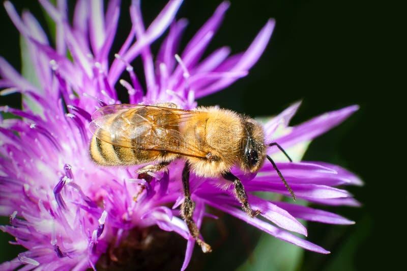 在一株蓟的蜂在春天 免版税库存照片