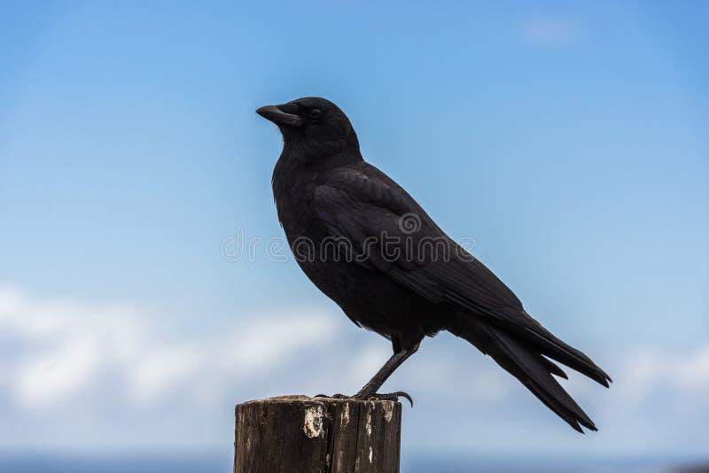在一根木杆栖息的乌鸦在太平洋在大瑟尔,加利福尼亚,美国旁边 图库摄影