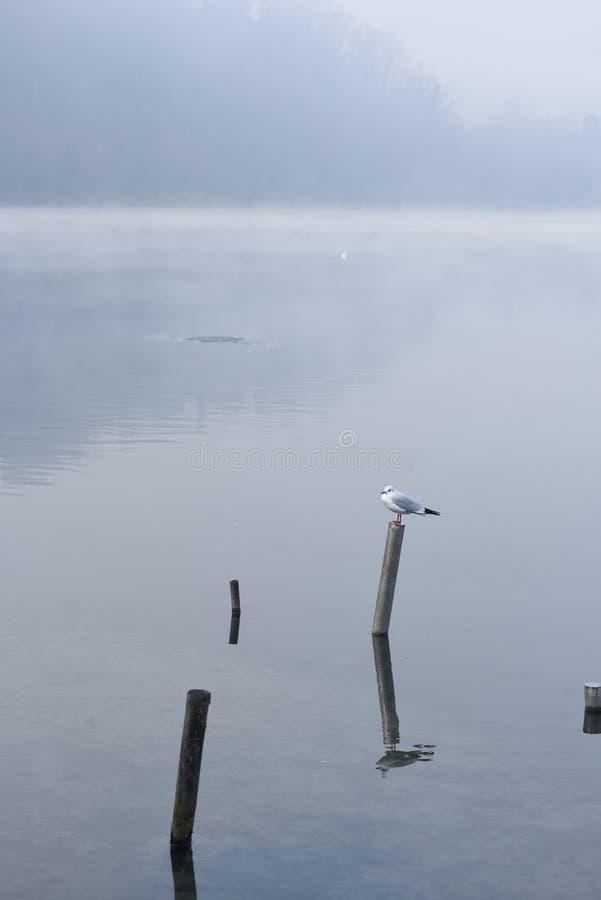 在一根杆的海鸥在fogg 库存照片