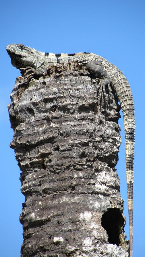 在一根杆的鬣鳞蜥在墨西哥 图库摄影