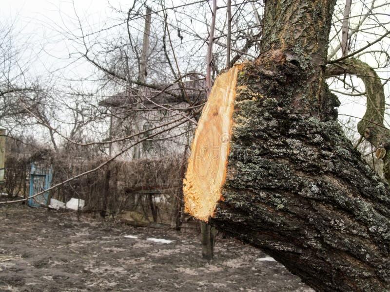 在一根果树树干的新鲜的创伤以秋天春天时间的一个庭院,特写镜头为背景 庭院回复 免版税库存图片