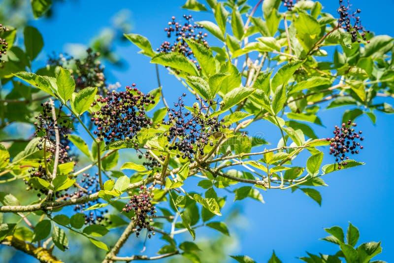 在一根枝杈的接骨木浆果在自然 库存照片