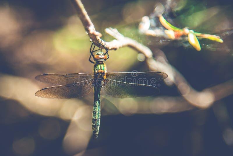 在一根枝杈的蜻蜓在森林里 库存照片