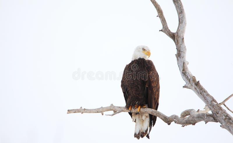 在一棵冷漠的树的被栖息的白头鹰 免版税库存图片