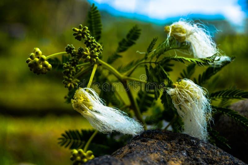 在一棵多刺的植物的蓬松花本质上 图库摄影