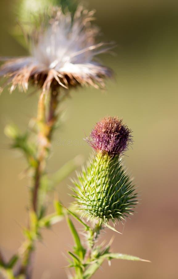 在一棵多刺的植物的蓬松花本质上 库存照片