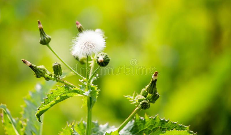 在一棵多刺的植物的蓬松花本质上 免版税库存图片