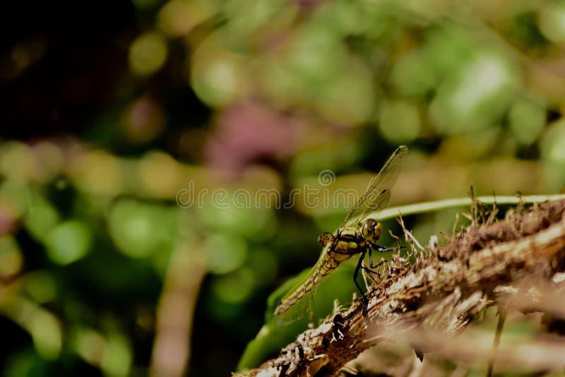 在一棵干植物的一只蜻蜓 免版税库存照片