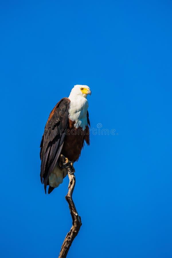 在一棵干燥树的非洲鱼鹰 库存照片