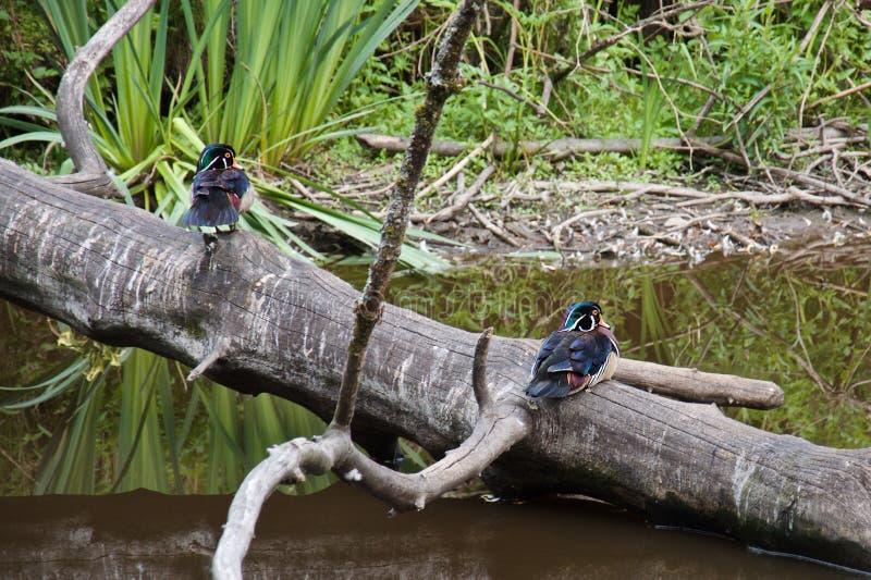 在一棵年迈的树的树干的两只木质的鸭子在一个池塘上的在公园 免版税库存图片