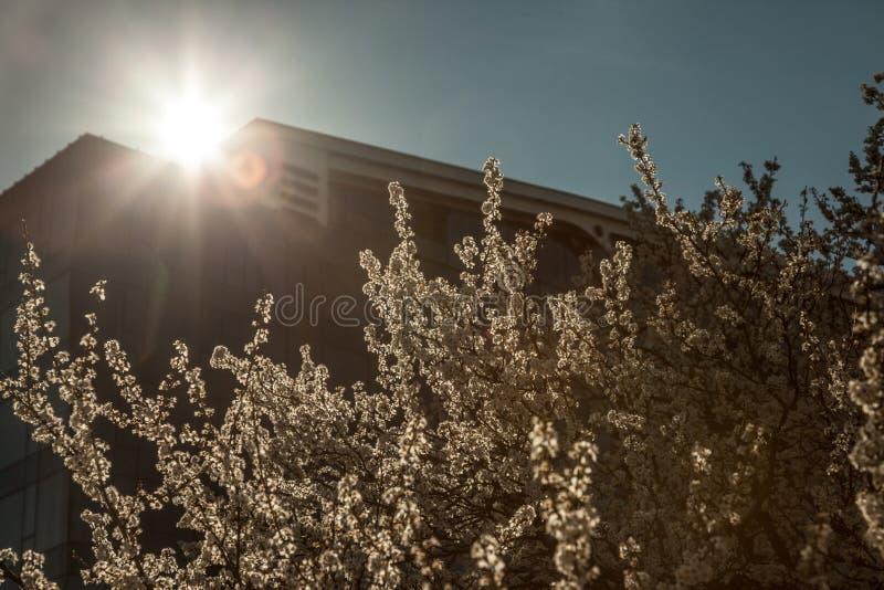 在一棵开花的树的开花在有大厦的春天期间在背景中 开花发生在春天在果子的pollinisation时 库存照片