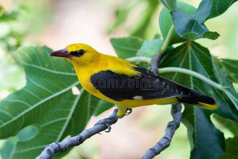 Download 在一棵无花果树的公金黄金莺类用果子 库存图片. 图片 包括有 黄色, 本质, 红色, 双翼飞机, 叶子, 羽毛 - 72362491