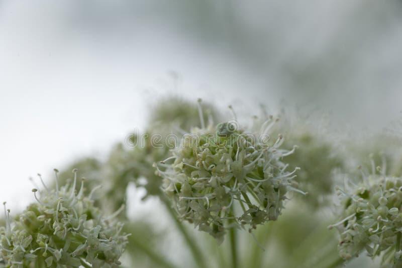 在一棵有伞状花植物的蜘蛛 库存图片
