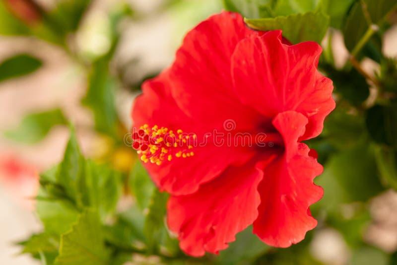 在一棵木槿植物的红色木槿花晚夏 免版税图库摄影
