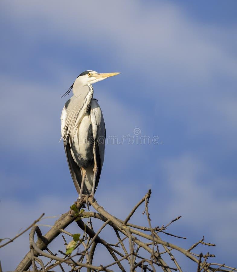在一棵树上面的灰色苍鹭反对蓝天 库存图片