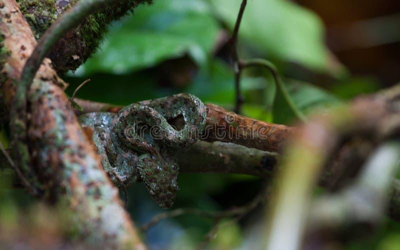 在一棵树卷曲的毒蛇在哥斯达黎加 免版税库存图片