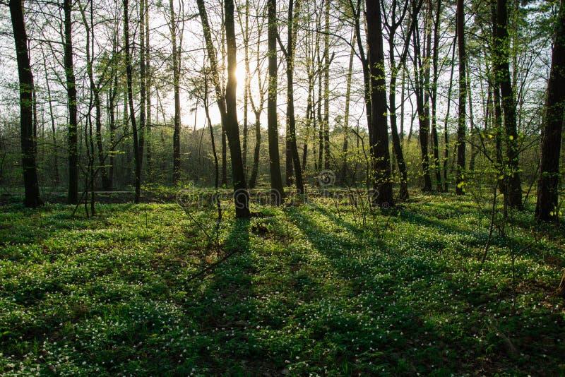 在一棵树后的太阳在森林和开花的白花里 图库摄影