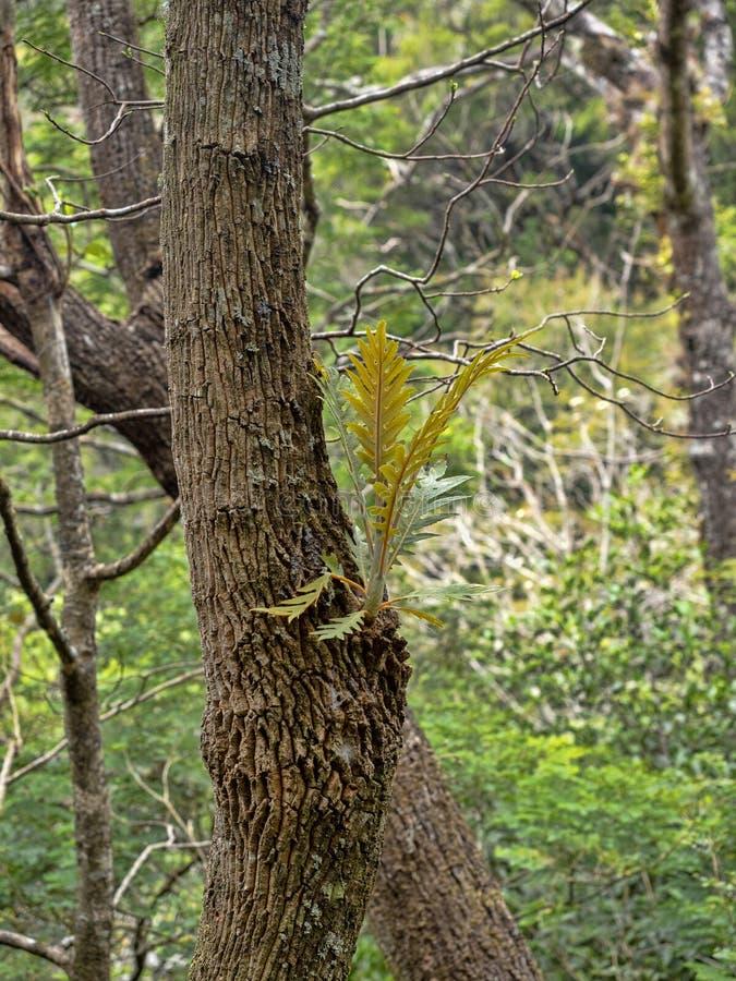 在一棵树在山,萨尔瓦多的蕨 图库摄影
