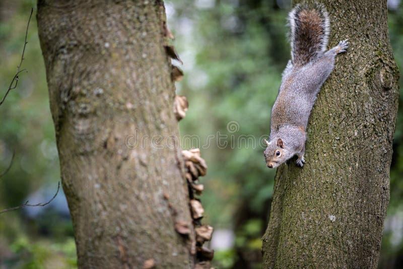 在一棵树的一只厚颜无耻的灰鼠在一个公园在肯特乡下 库存照片