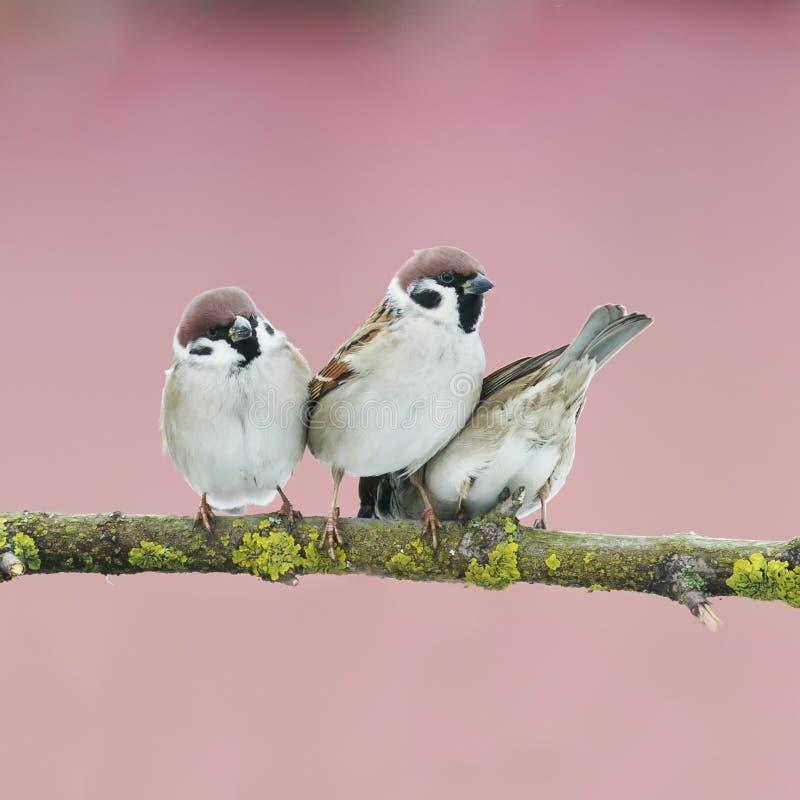 在一棵树的三只小的鸟在春天从事园艺 免版税库存图片