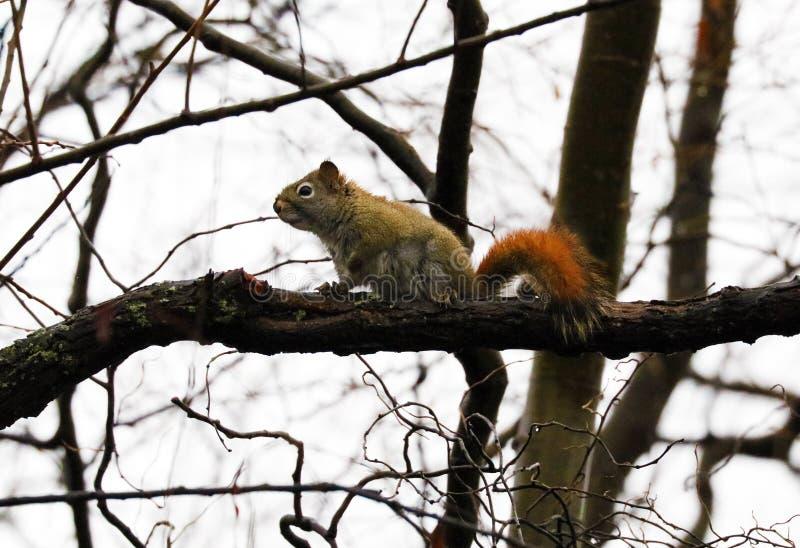 在一棵树的俏丽的灰鼠在秋天期间 库存图片