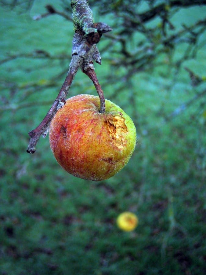在一棵树的前个苹果在11月 免版税库存图片