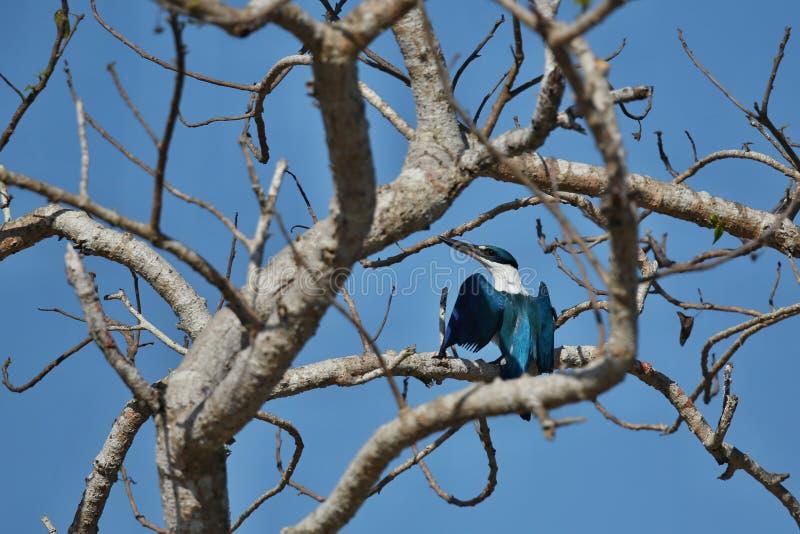 在一棵树的好和五颜六色的kingfischer在komodo海岛附近 免版税库存图片