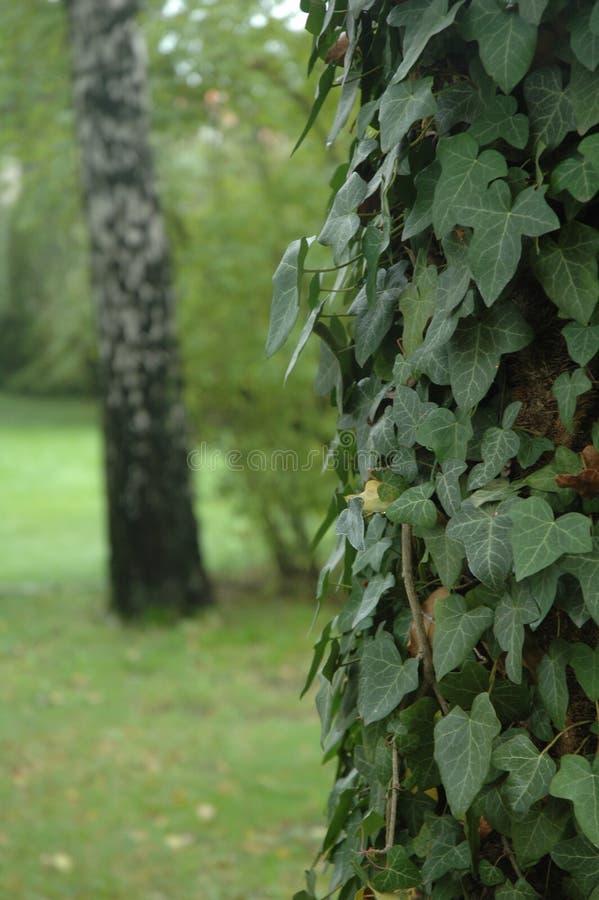 在一棵树的常春藤在森林里 库存照片