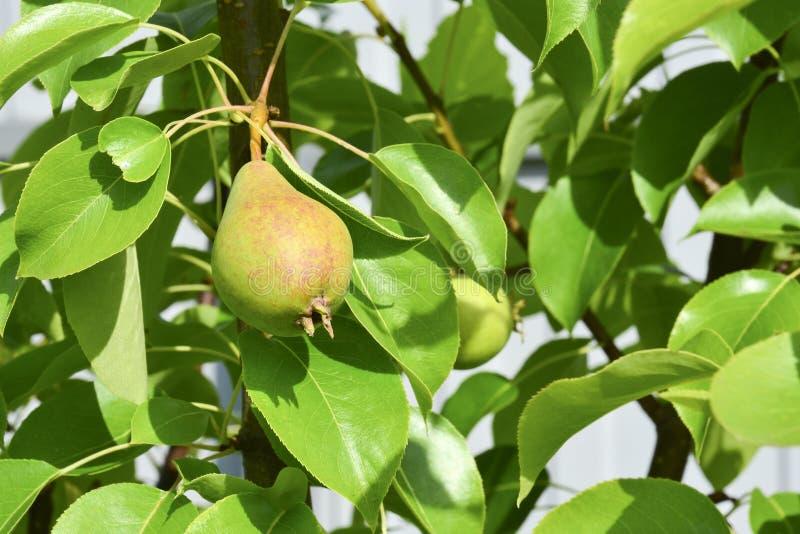 在一棵树的成熟的红色梨在庭院里 果树用未成熟的果子 r r 免版税库存照片