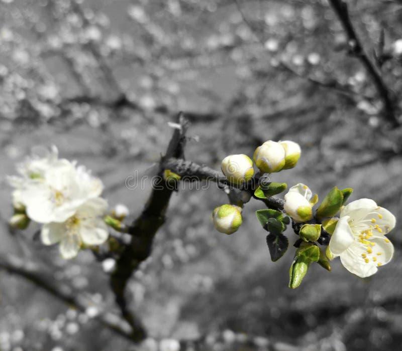 在一棵树的春天花在宏观摄影 图库摄影