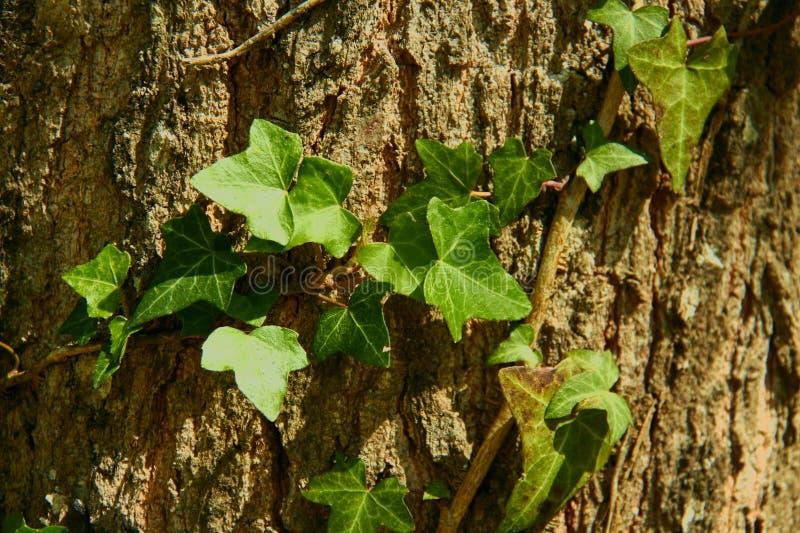 在一棵树的棕色吠声的安心的纹理与攀登橡木的树干的藤的 库存照片