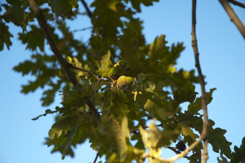在一棵树的橡子在戈尔代,法国 免版税库存图片