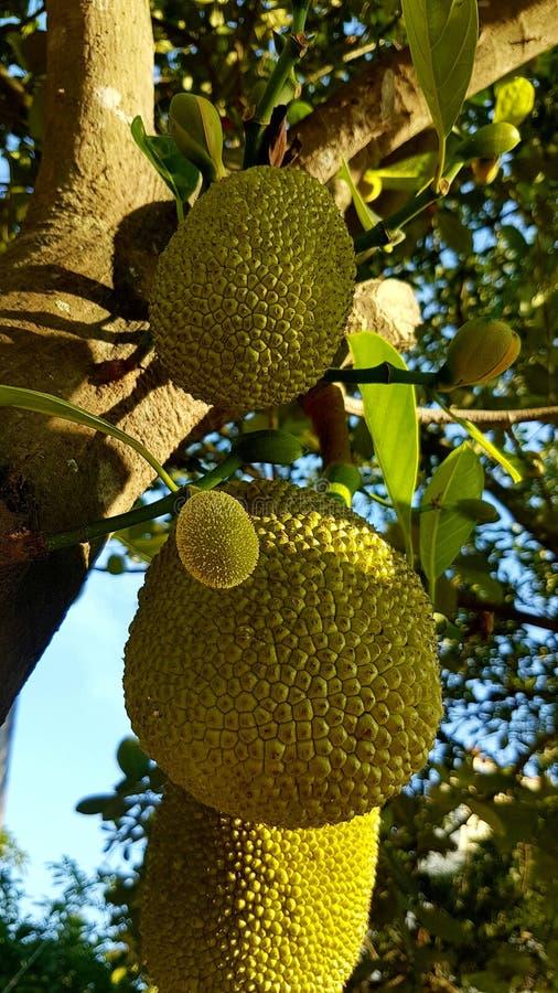在一棵树的波罗蜜在热带围拢 库存图片