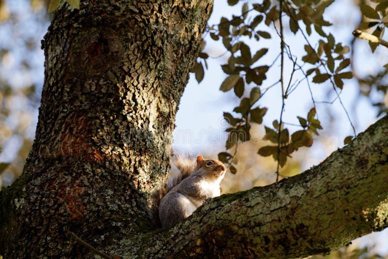 在一棵树的灰鼠在秋天 免版税图库摄影