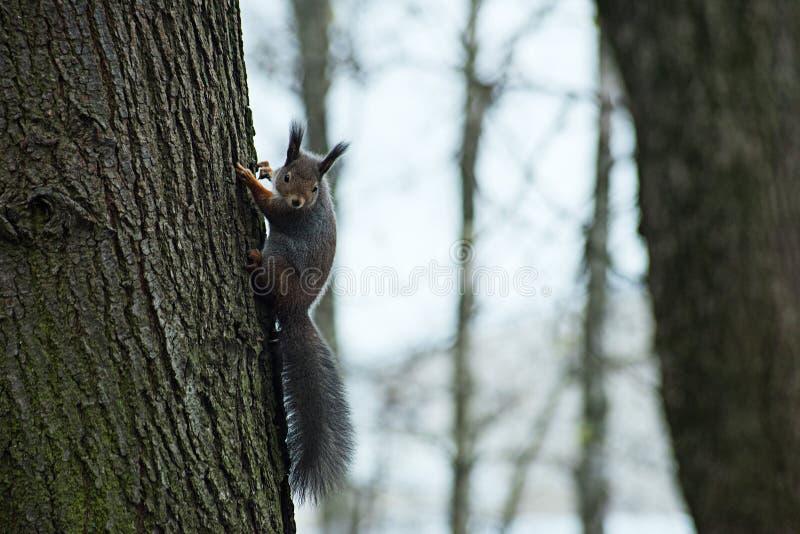 在一棵树的灰鼠在秋天 库存照片