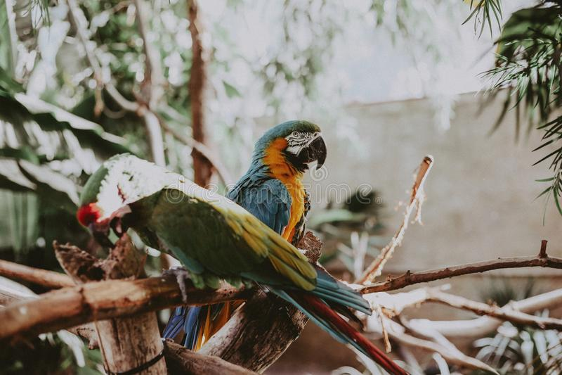 在一棵树的稀薄的分支的美丽的五颜六色的金刚鹦鹉鹦鹉在公园 免版税库存照片