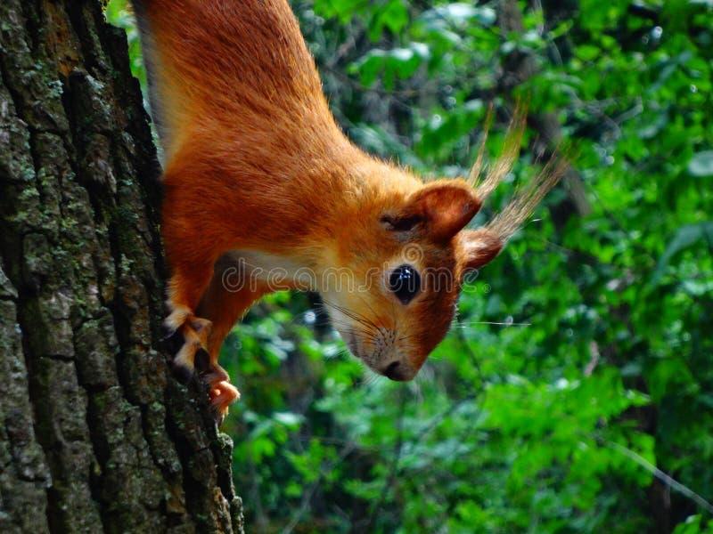 在一棵树的红发灰鼠在森林里 免版税图库摄影