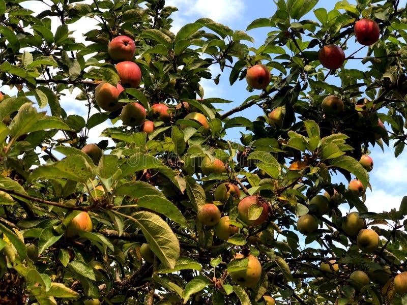 在一棵树的红色苹果在城市停放 库存图片