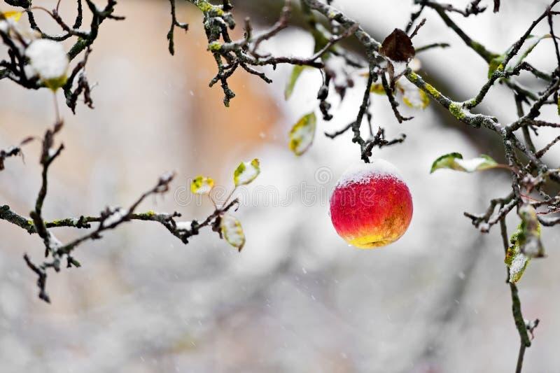 在一棵树的红色苹果在降雪期间 免版税库存图片