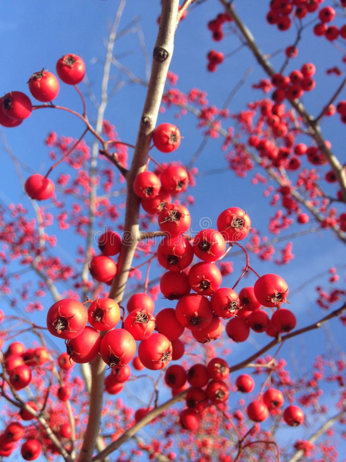 在一棵树的红色莓果在冬天 库存图片